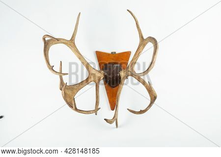 An Angled View Of A Whitetail Deer Antler Isolated On White
