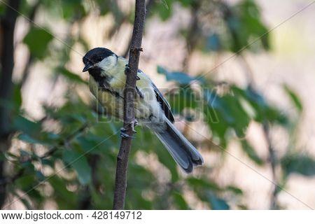 Great Tit, Parus Major, In The Wild. Songbird.