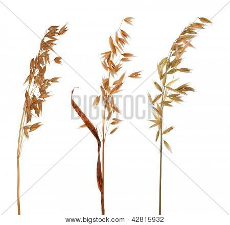 dry oat isolated on white background