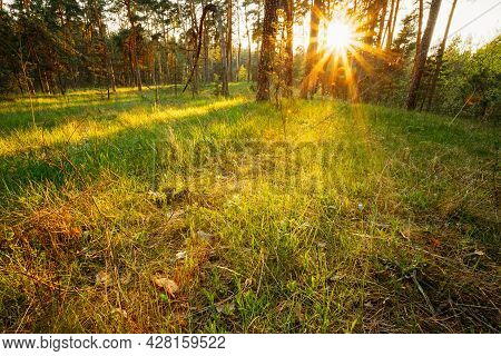 Sunbeams Pour Through Trees In Summer Spring Forest At Sunset, Sunrise. Russian Nature