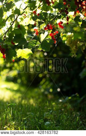 Vertical Shot Of Red Currant Bush With Berries Against Green Grass Wit. Summer Vertical Natural Back