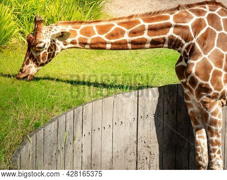 A Big Graceful African Exotic Giraffe With Long Tall Elegant Neck And Spotted Pattern Stretching Its