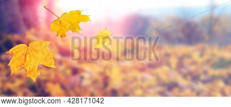 Autumn Leaves Fall From The Trees. Yellow Maple Leaves Falling From A Tree On A Blurred Background I