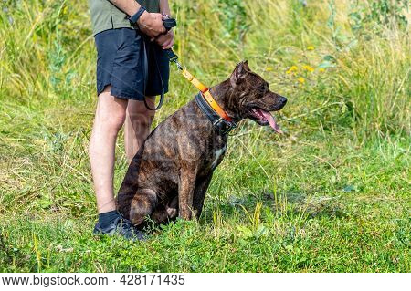 A Purebred Dog Sits On The Grass Next To Its Owner. The Owner Walks The Dog In The Park