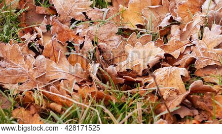 Frost-covered Dry Oak Leaves On The Ground. Fallen Autumn Leaves In The Morning During Frost