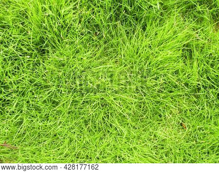 Green Grass Texture Background Top View Of Bright Grass. Background Of A Green Grass. Green Grass Te