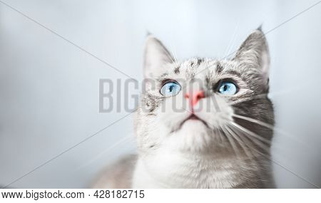 Background. A Thai Siamese Cat With Blue Eyes Is Looking For Something Upstairs