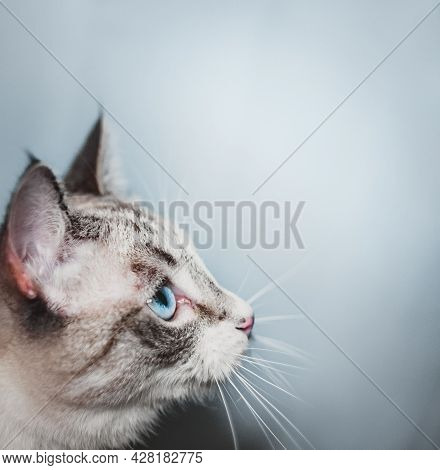 The Profile Of The Thai Siamese Cat Looks Up Diagonally, Hunting