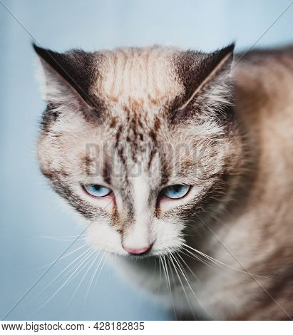 Thai Siamese Cat Looks Down, Shows The Stripes On The Head Between The Ears