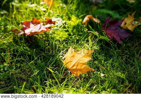 Close-up Two Colorful Maple Leaves In Sunlight On The Grass.autumn Natural Background.fallen Autumn