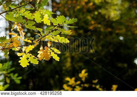Autumn Foliage Background. Colorful Leaves On Sunny Day, Park Scene. Green And Yellow Oak Tree Branc