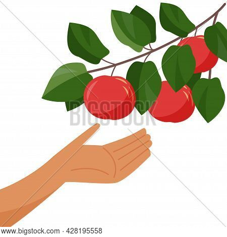 Hand And Apple Tree Branch. Picking Apples. Harvesting. Branch With Ripe Apple Isolated On A White B