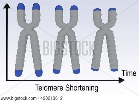 3d Illustration Of Three Stages Of A Chromosome, Showing The Shortening Of A Dna Telomere.