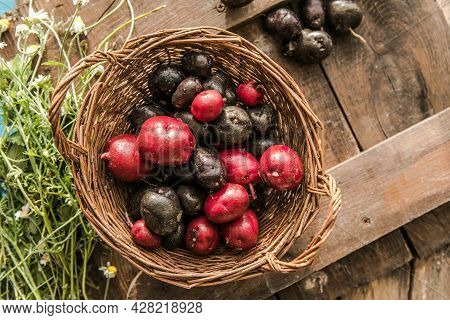Homegrown Organic Raw Purple Vitelotte Potato In Half Close Up. Homegrown Organic Raw Purple Vitelot