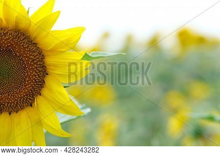 Sunflower Close-up. Flower Field Of Sunflowers. Agriculture And Industrial Cultivation Of Sunflower.