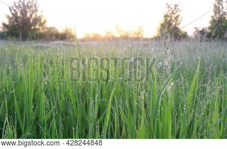 morning on green meadow. Water drops of dew on green grass