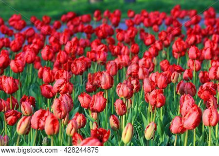 nice red tulips flowers  in park