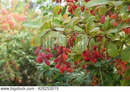 Small Red Berries In The Leafage Of Berberis Vulgaris In September