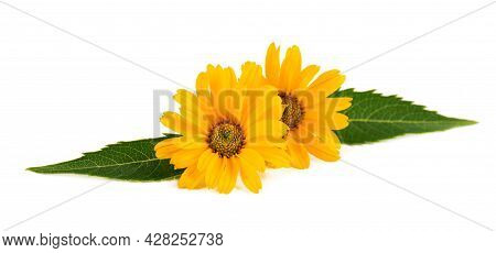 Calendula Flowers Isolated On White Background. Marigold Flower. Medicinal Herbal Plant.