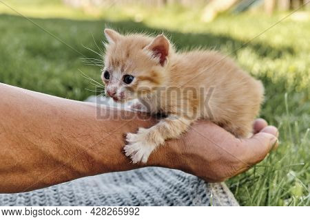 Little Skinny Scared Ginger Cute Kitten On The Hand Of A Mature Man
