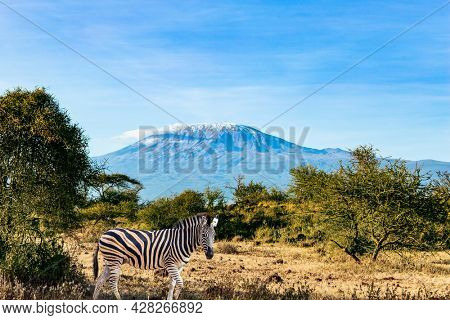 Zebra. Travel to exotic Africa. Amboseli park. The famous snow-capped Mount Kilimanjaro. Magnificent wild animals of the African savannah. Plain acacias of the Horn of Africa