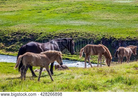 Herd of beautiful and kind horses grazes in the green grass of the Icelandic tundra. Only one breed of horse lives in Iceland. Golden summer sunset. Ecological, active and photo tourism concept