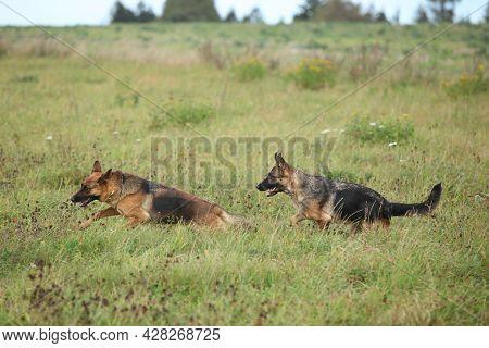 Amazing Couple Of German Shepherd In Autumn