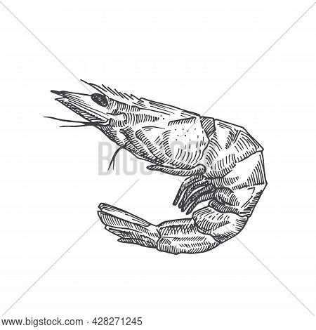 Hand Drawn Shrimp Vector Illustration. Abstract Seafood Sketch. Prawn Engraving Style Drawing. Isola