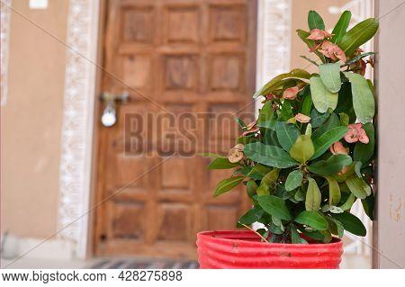 Euphorbia Milli Plant Is Placed In Front Of The Door