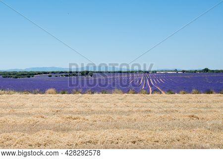 Beautiful Lavender Fields Blooming At Brihuega, Guadalajara, Spain, Europe. No People, Copy Space