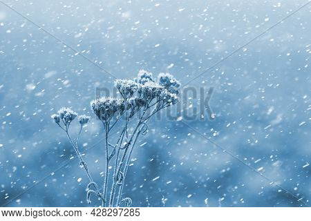 Frost-covered Dry Grass On A Blurred Background During A Snowfall. Winter Background