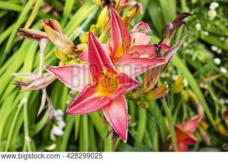 Lily Flowers. Close-up Of A Beautiful Large Orange And Pink Flowers Lilies. Daylily In The Garden. G