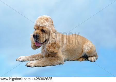 Dog American Cocker Spaniel Lies On A Blue Background.