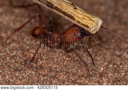 Atta Leaf-cutter Ant