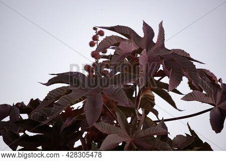 Red Castor Bean Plant
