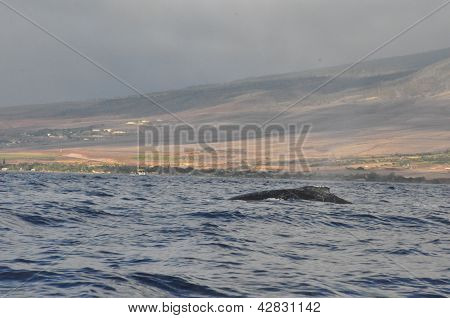 Whale Watching in Hawaii