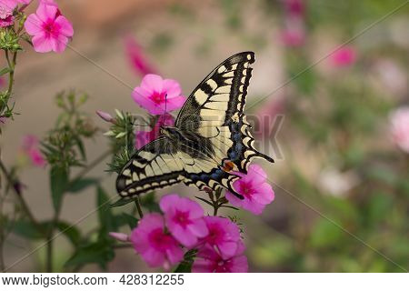 Papilio Machaon Sips Nectar From Pink Phlox. Butterfly And Flowers On A Blurred Floral Background In