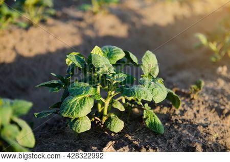 Young Potato Bush On A Farm Plantation. Agribusiness Organic Farming. Landscape With Agricultural La