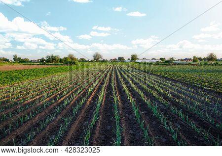 Leek Farm Field. Fresh Green Top Leaves. Agroindustry. Farming, Agriculture Landscape. Growing Veget