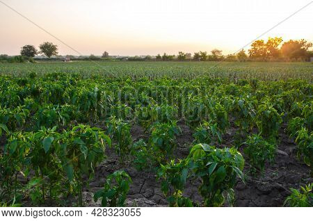 Row Of Pepper Seedlings Plants. Industrial Growing Vegetables On Open Ground. Agroindustry. Farming