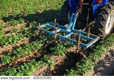 A Tractor With A Plow Is Cultivating A Field Of Potatoes. Loosening And Turning Soil Between Rows To