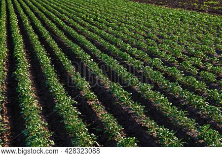 A Beautiful View Of Countryside Landscape Of The Potato Fields Of Southern Ukraine. Organic Farming.