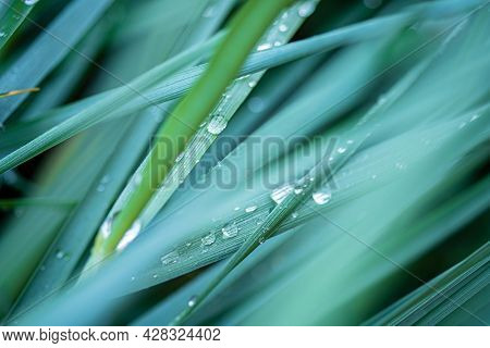 Green foliage in rain drops.