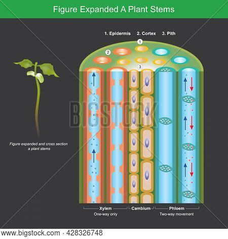 Figure Expanded A Plant Stems. Figure Expanded For Explain A Plants Transport Nutrient And Water In