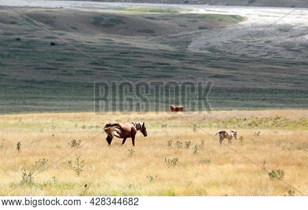 Horses In The Wild With Mum Controlling Her Foal In The Immense Boundless Prairie With Dry Grass