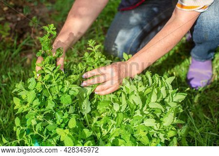 Harvesting Mint. Woman Farmer Hands Picking Mint Leaves In Garden. Healthy Herbs Concept.
