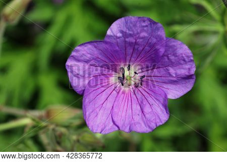 Blue Clarkes Cranesbill, Geranium Clarkei Variety Kashmir Blue, Flower Close Up With A Background Of