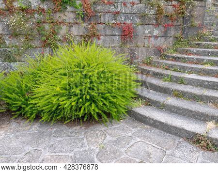 Juniper-leaf Grevillea Or Prickly Spider-flower Plants. Bright Green Fluffy Decorative Shrubs Near S