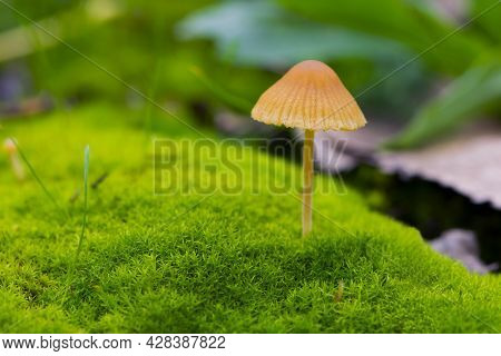 Small Forest Orange Mushroom On Bright Green Moss. Non-edible Mushroom, Toadstools Growing In Moss.