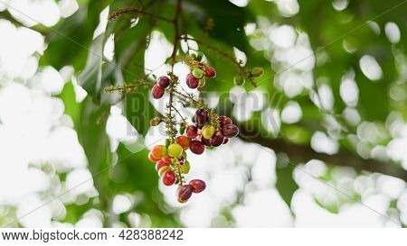 Lepisanthes Rubiginosa Fruit Branch, Colorful And Sweet Tropical Fruits, Ripe And Ready To Harvest.